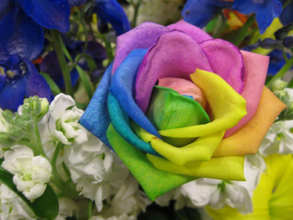 Rare Flower-Rainbow Roses Real ~ ThundersCloud