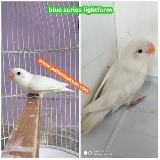 ciri-ciri lovebird lightform dan harganya