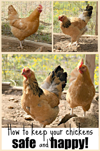 How to keep your chickens happy when you can't free range.