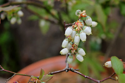 A clutch of flower buds on a blueberry shrub