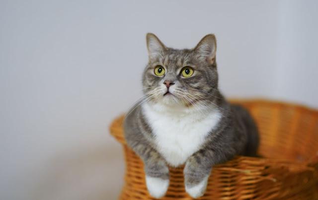 Perawatan Kucing di Dalam Rumah Anda