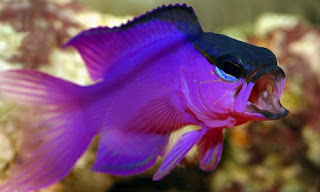 Gramma Melacara - Ikan Blackcap Basslet