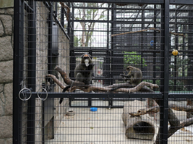 De Brazza's monkeys at the Hong Kong Zoological and Botanical Garden