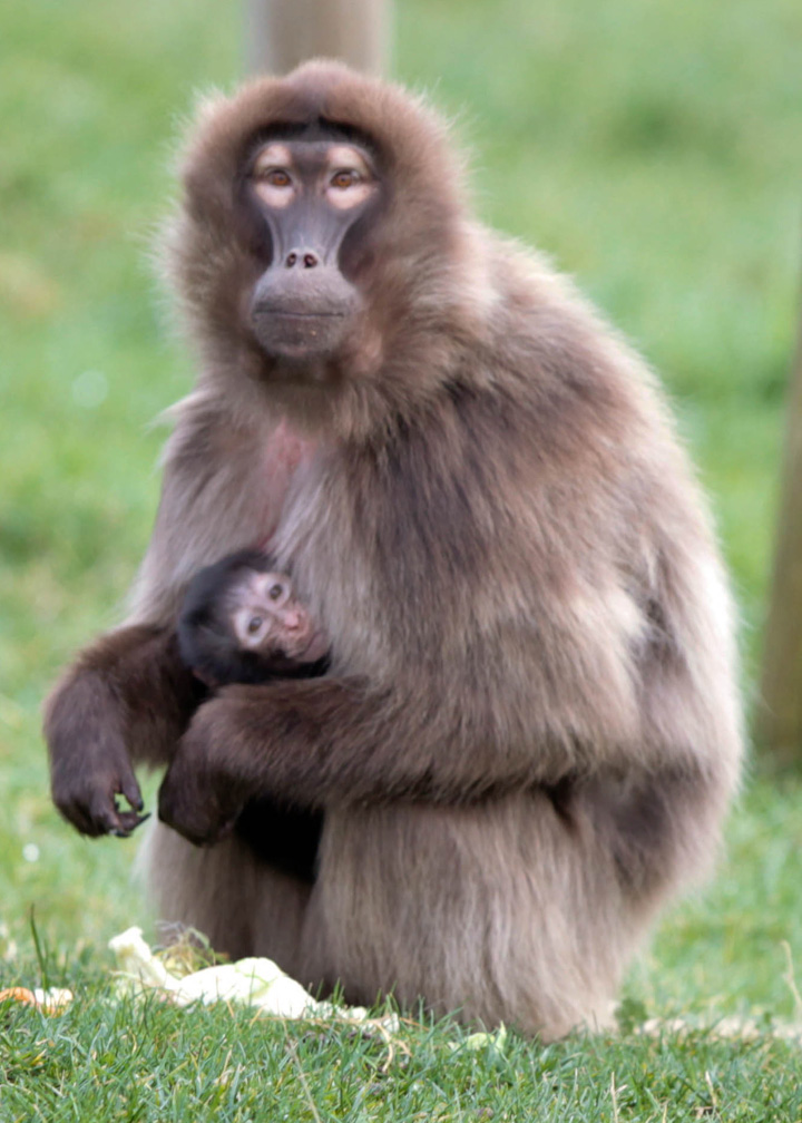 Baby Animals: Baboon infant 15