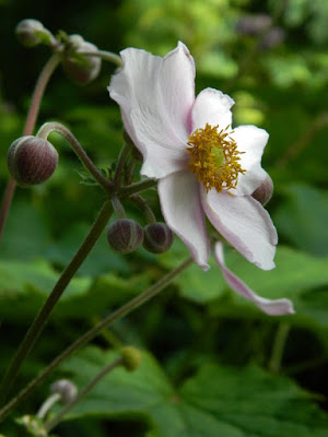 Anemone tomentosa 'Robustissima' Grape Leaf Japanese Anemone at Toronto Botanical Garden by garden muses-not another Toronto gardening blog