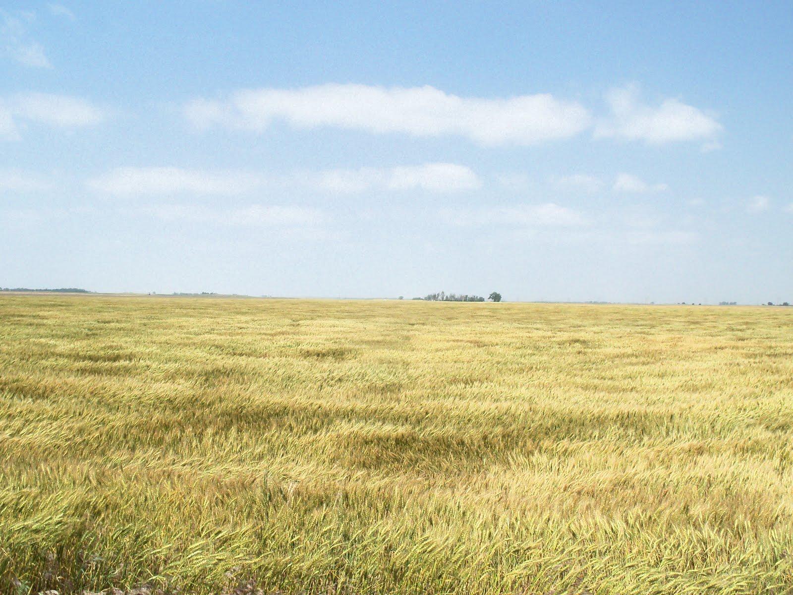 Kim S County Line Amber Waves Of Grain