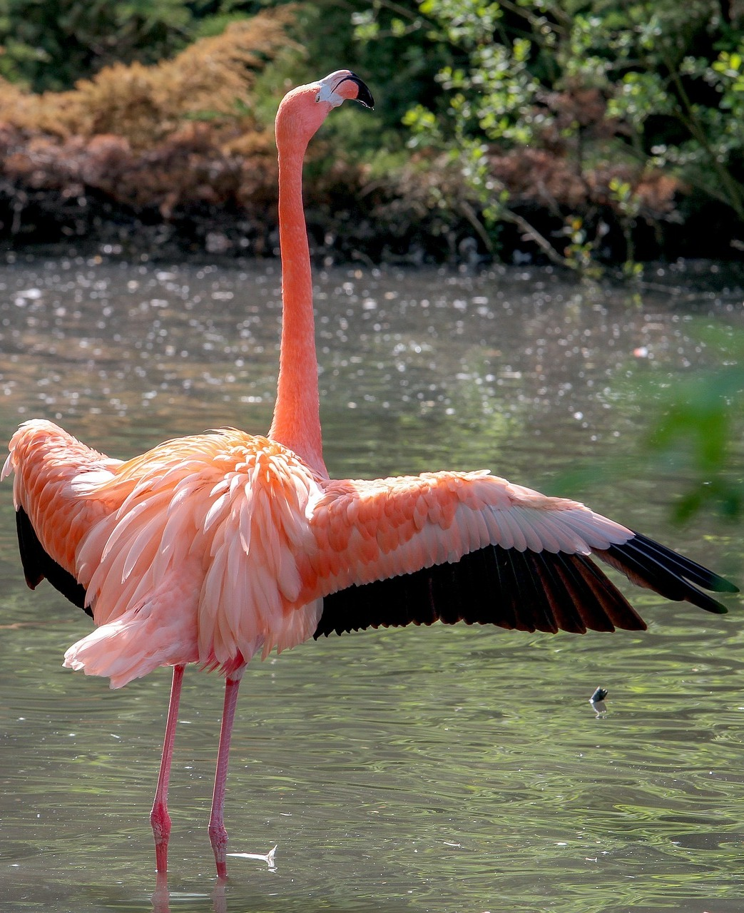 Beautiful flamingo with wings spread out.