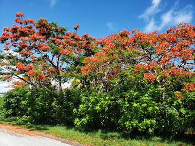 Blooming roadside poinciana tree