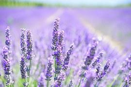 lavender-blossom-1595581__180.jpg