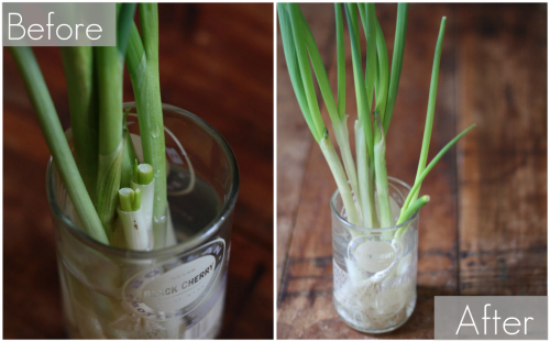 How to Grow Green Onions Indefinitely | 17 Apart
