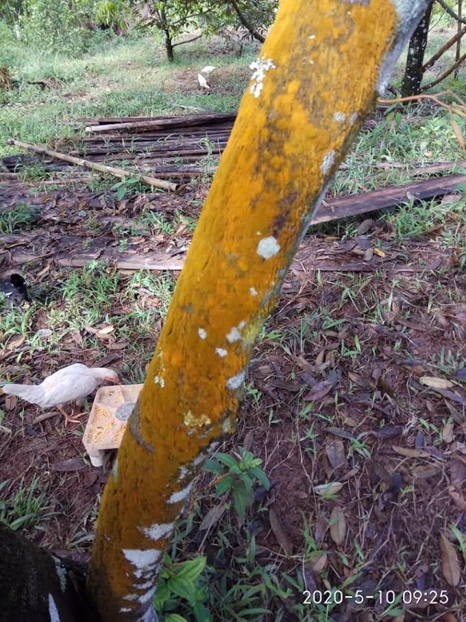 Penyakit Buah Durian dan Cara Pengendalian