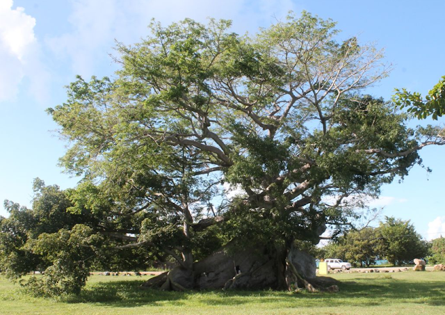 The Ceiba Tree in Vieques | Lindsay Eryn