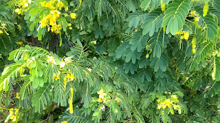 Cassia bicapsularis legume tree yellow flowers