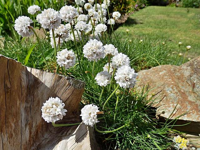 White thrift flowers, Cornwall