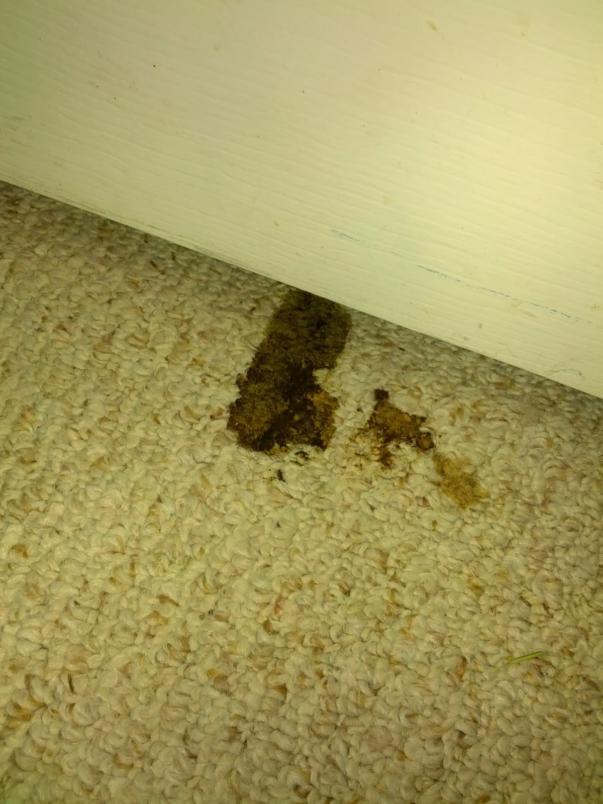 Clean Dog Diarrhea Out Of Carpet Carpet Vidalondon