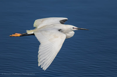 Little Egret in Flight Woodbridge Island, Cape Town