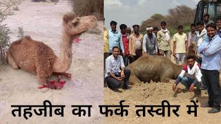 दो तस्वीर दोनों के अलग-अलग माइने! एक में ऊंट की निर्मम हत्या तो दूसरी में ऊंट को बचाकर दिया मानवता का परिचय