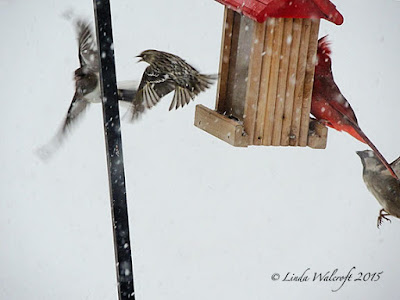 birds competing for seed