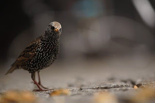 inquisitive starling