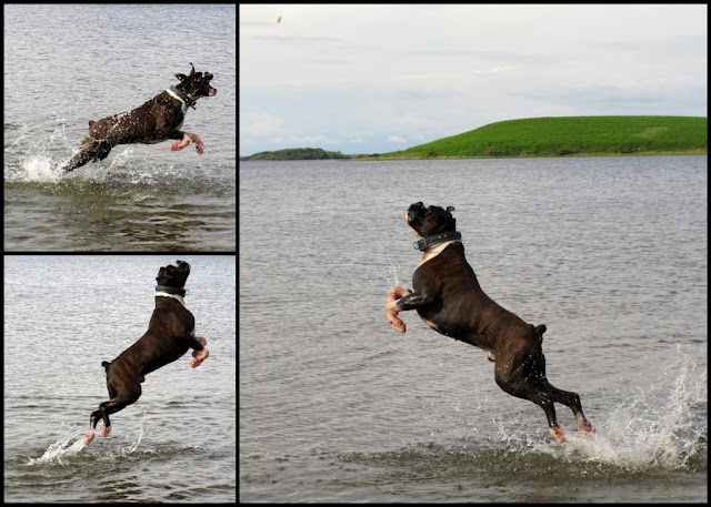 boxer dog jumping