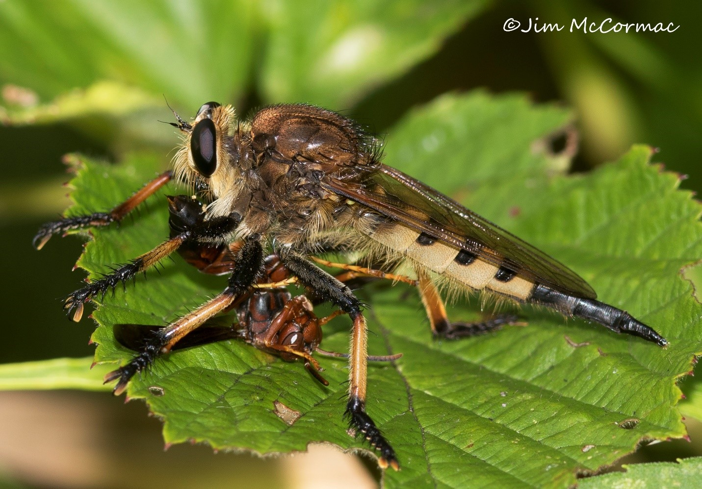 medium resolution of red footed cannibal fly promachus rufipes with paper wasp jim mccormac