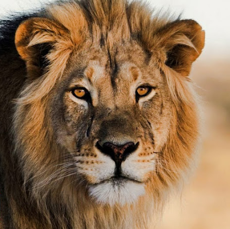 Humans eat more lion body parts than any other animal