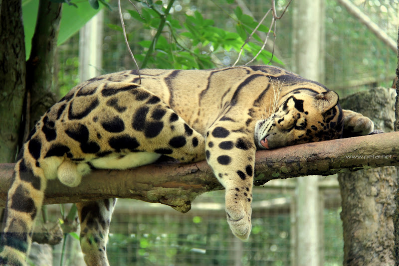 Harimau Dahan