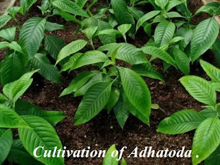 Cultivation of Adhatoda