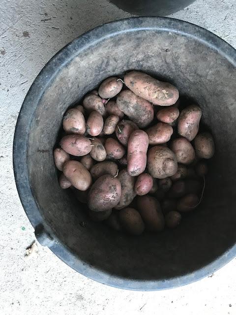 Kartoffeln Sorte Sarpo Mira (c) by Joachim Wenk