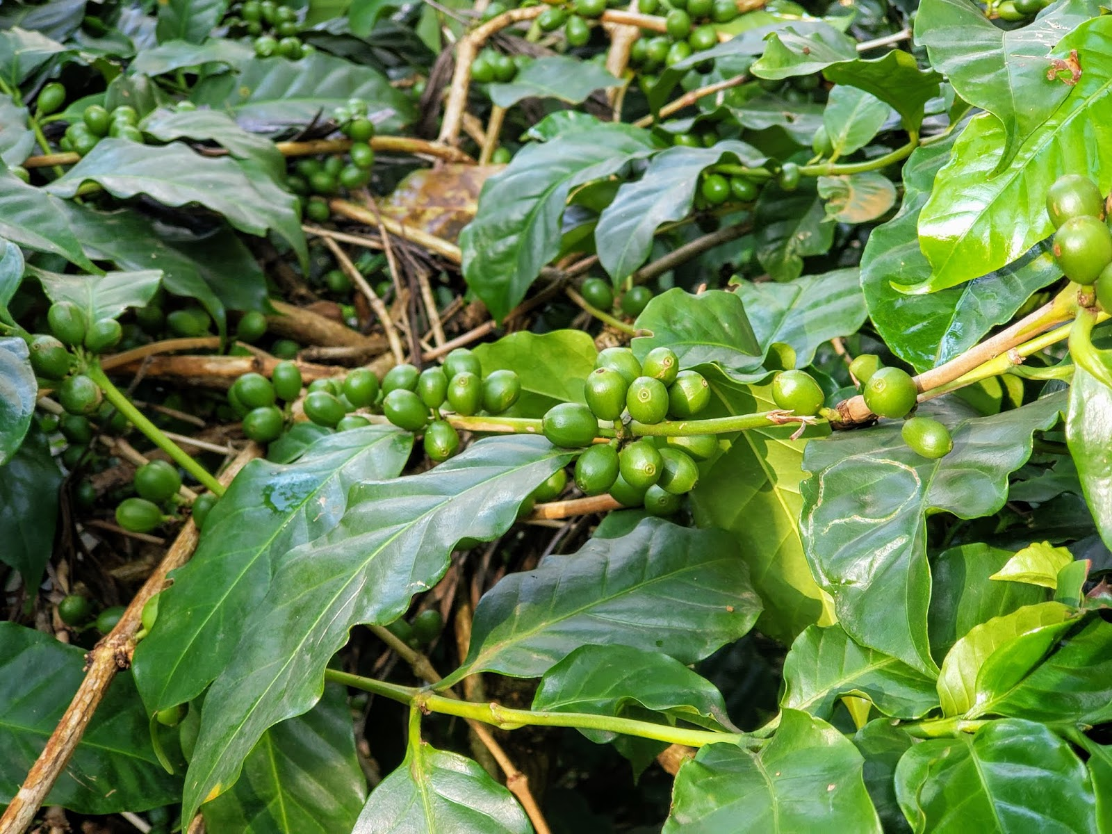 Coffee Plant from a closer look