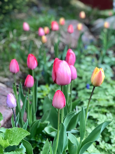 Darwinhybrider Tulipa