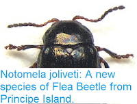 http://sciencythoughts.blogspot.co.uk/2016/01/notomela-joliveti-new-species-of-flea.html