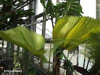 Ruffled fan palm - Kyoto Botanical Gardens Conservatory, Japan
