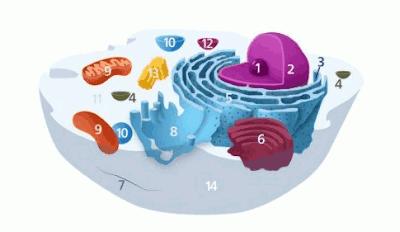 Organel Sel Hewan: Gambar, Struktur, beserta Fungsinya Lengkap