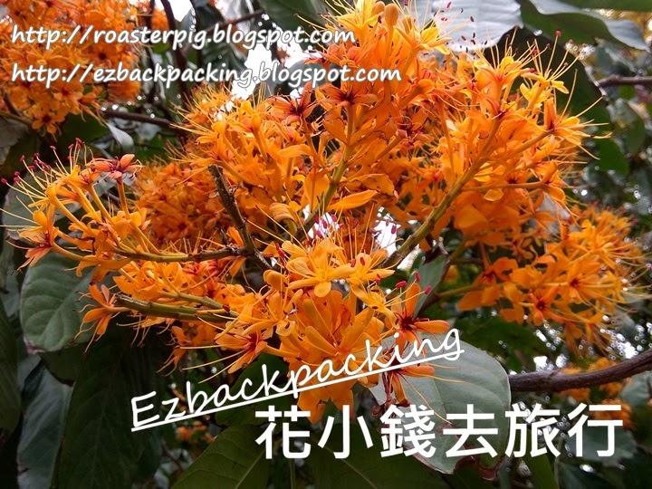 香港無憂樹開花
