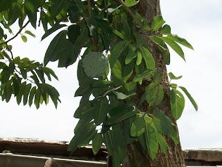 Annona squamosa, usos medicinales del anón para el reumatismo