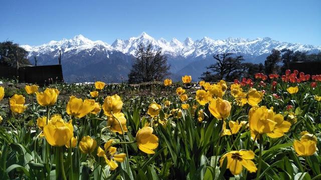 Uttarakhand Tulip Garden in Munsiyari | Tulip Garden in Munsiyari | Munsiyari Tulip  Garden