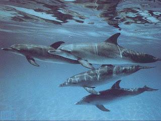 Lumba-lumba yang ada di kawasan Pantai Lovina