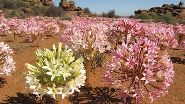 Paisajes de flores silvestres. Brunsvigia bosmaniae en el Karoo suculento