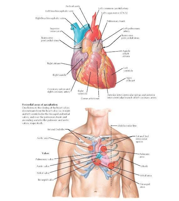 Anterior Aspect of Heart Anatomy