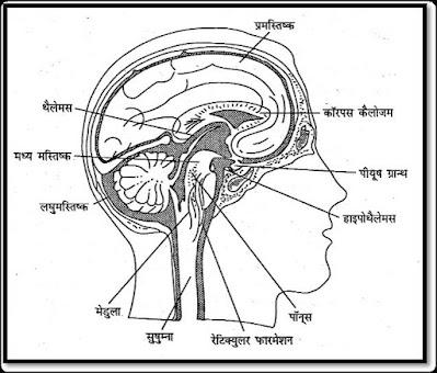 मस्तिष्क के भाग