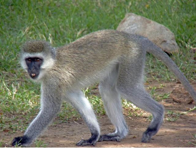 Buy wall art of Vervet Monkey