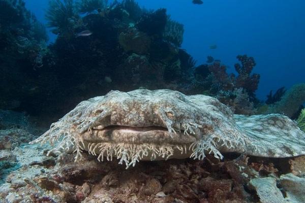 """Cá mập thảm sở hữu vẻ ngoài """"xấu xí"""", thường hòa mình vào những rạn san hô"""
