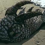 Encuentran Extraña Criatura Marina Despues del Huracán Nate!