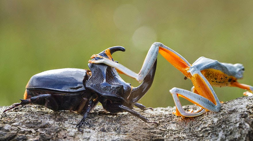 cowboy frog riding beetle animal photography-5
