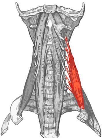 Músculo escaleno medio resaltado de color rojo