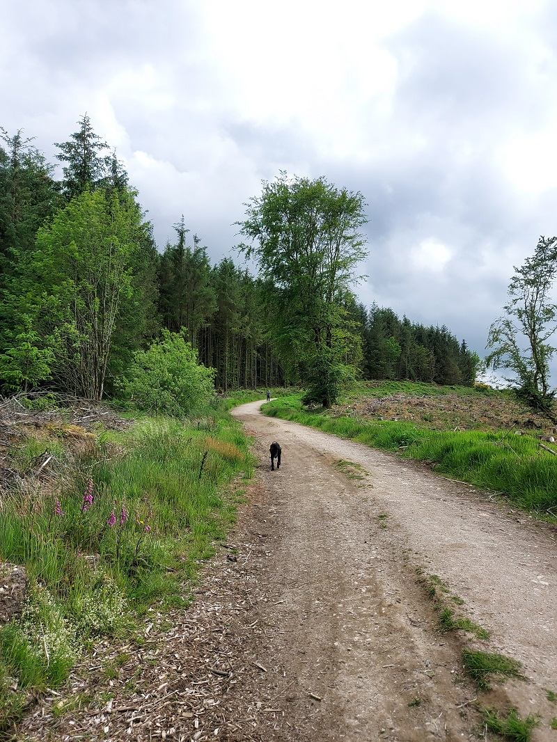 Harley on the forest track at White Cow Woods