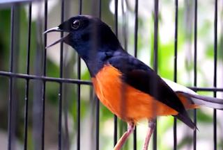 Burung Murai Batu - Protein yang Bagus Untuk Menumbuhkan Bulu Burung Murai Batu - Penangkaran Burung Murai Batu