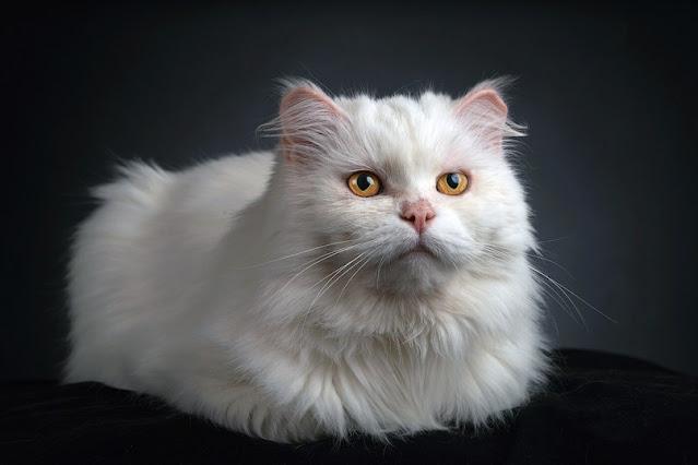 Kashmir Cat