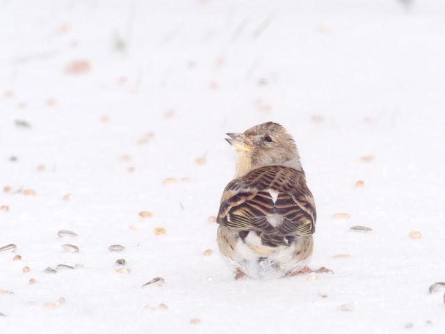Ein Bergfink sitzt auf einer Schneedecke